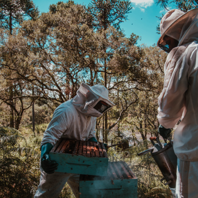 Bee keeper holding part of hive while another keeper smokes the hive